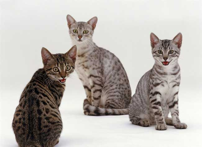 Best Egyptian Mau names - Dogs cats