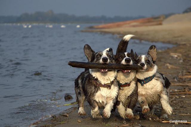 pies, plaża, zabawa, welsh corgi, corgi, cardigan, patyk, pogoń, ucieczka