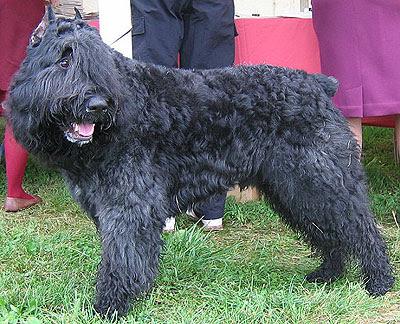Bouvier des Flandres Breed Information  |Bouvier Dog