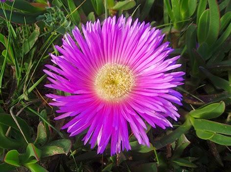 Uña de gato (Carpobrotus edulis)flor rosa