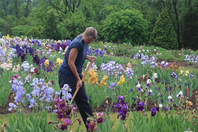 A staff member tends the iris collection at the Laking Garden, part of Canada's Royal Botanical Gardens