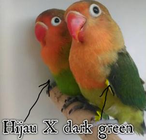 ciri ciri lovebird dark green