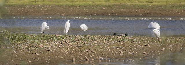 A Row of Little Egrets