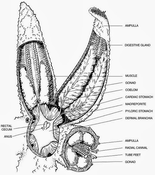 starfish internal anatomy diagram