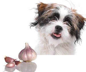 Little dog with tongue out next to a bulb of garlic