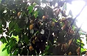 Bacupari (Rheedia Brasiliensis)