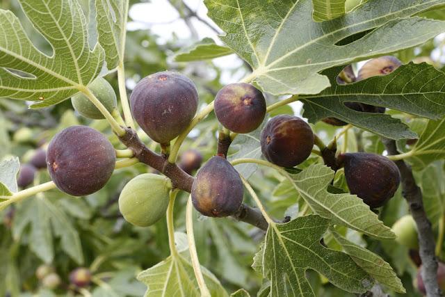 fig%2Bfruit.jpg