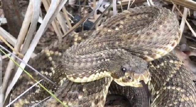 cara menghilangkan bisa ular. ular binatang paling licik didunia. tips menangkap ular