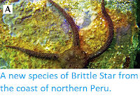 http://sciencythoughts.blogspot.com/2014/06/a-new-species-of-brittle-star-from.html