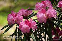 神代植物公園の西洋シャクナゲ写真