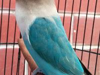 Perawatan Harian Lovebird Agar Ngekek Panjang