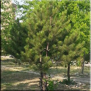 Çam ağacı rüyada Çam ağacı rüyada Çam ağacı görmek Çam ağacı kabuğu Çam ağacı fidanı Çam ağacı yetiştiriciliği Çam ağacı faydaları Çam ağacı fiyatları Çam ağacı reçeli Çam ağacı çeşitleri Yükselen Çam ağacı adam Çam ağacı faydaları Çam ağacı fidanı Çam ağacı fiyatları Çam ağacı reçeli Çam ağacı yağı Çam ağacı çeşitleri
