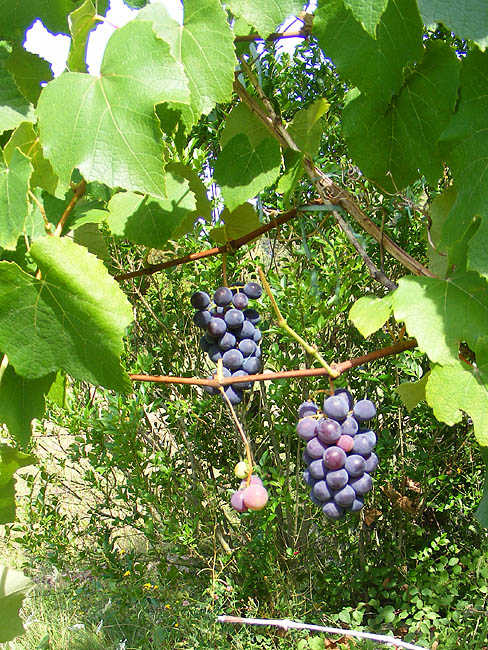 Days on the Claise: Grape Vines are Doing it for Themselves