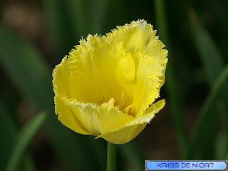 Tulipe frangée jaune