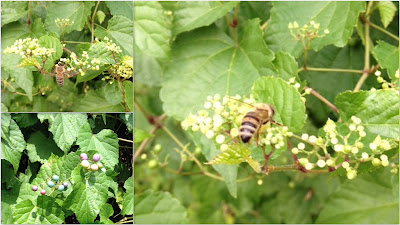 bee, beekeeping, foraging, invasive plant, porcelain-berry, summer,
