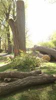 coupe d'arbres à Montréal