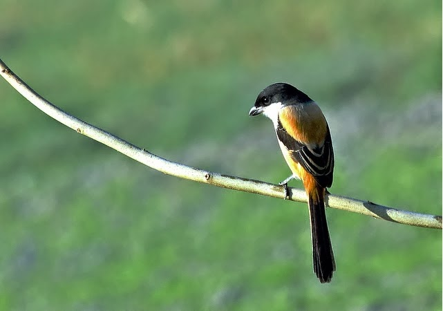 Kumpulan Foto Burung Cendet Jantan Foto Burung Kicau