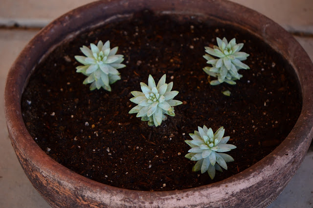 "Sedeveria ""Harry Butterfield"", amy myers photography, small sunny garden, succulent foliage"