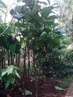 tukang taman murah penjual pohon pelindung dan peneduh ketapang biola cantik dengan harga murah