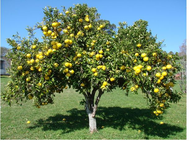 Toranja (Citrus paradisi)