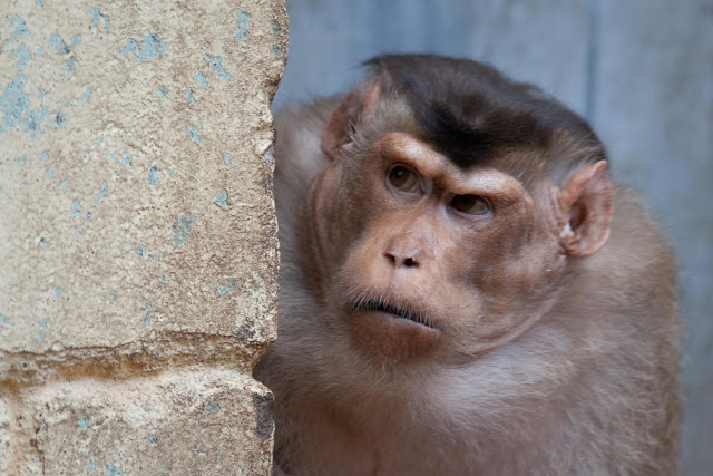 Monkey fights help explain tipping points in animal societies