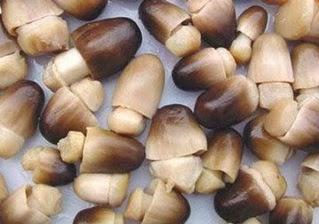 mencari jamur merang alami