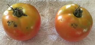 Protect your tomato from blight