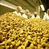 Seca prolongada dizima mais de 70% da produção de caju e castanha no RN