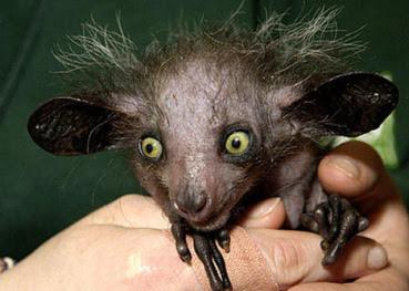 QUE ANIMAL SERÁ ESSE ?  Seria um ET?  Seria um gato esbagaçado?  Não!  Ele pode ser estranho, mas não é de outro Planeta.  É um mamífero, mas não um gato e nem tá esbagaçado!
