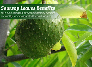 Soursop Leaves Benefits for Loss Weight Treatment
