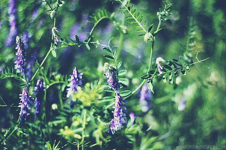fotografia przyrodnicza, bokeh, canon 50mm 1.4, canon bokeh, kwiaty łąkowe, chwasty