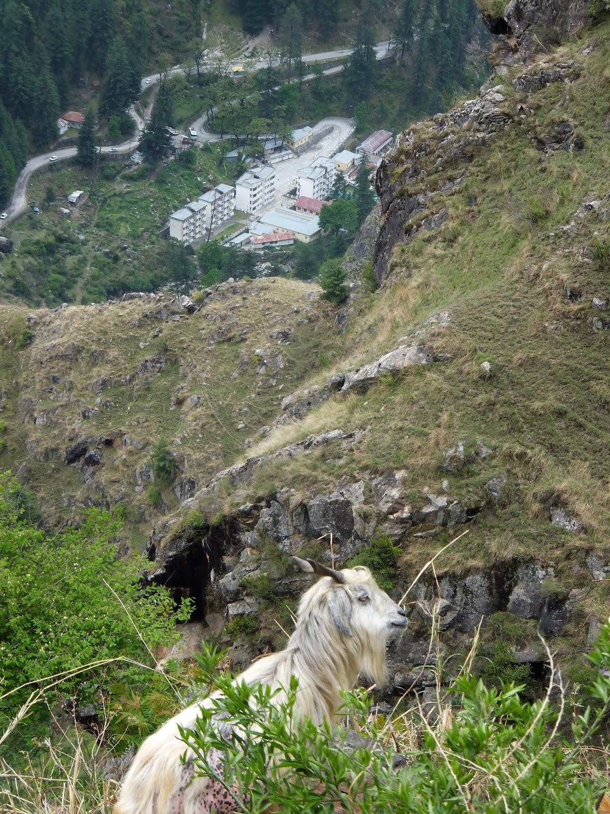 козел в горах