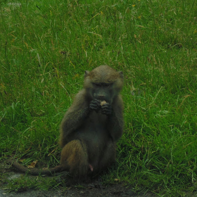 Knowsley safari park, baboon