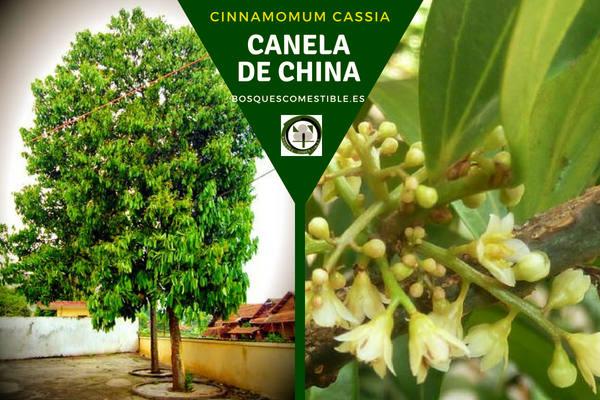Cinnamomum cassia, Canela China, esta laurácea es un árbol siempre verde