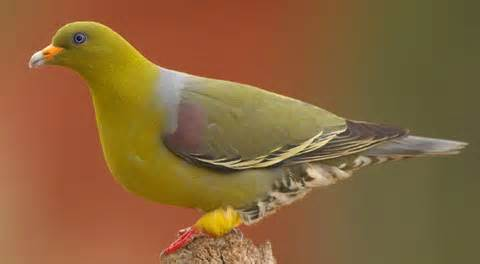 Jenis Jenis Burung Punai Info Pendidikan Dan Biologi
