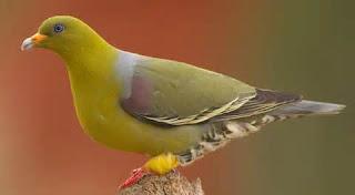 Sumatran green pigeon