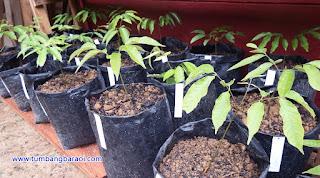 menanam tenggaring atau kapulasan