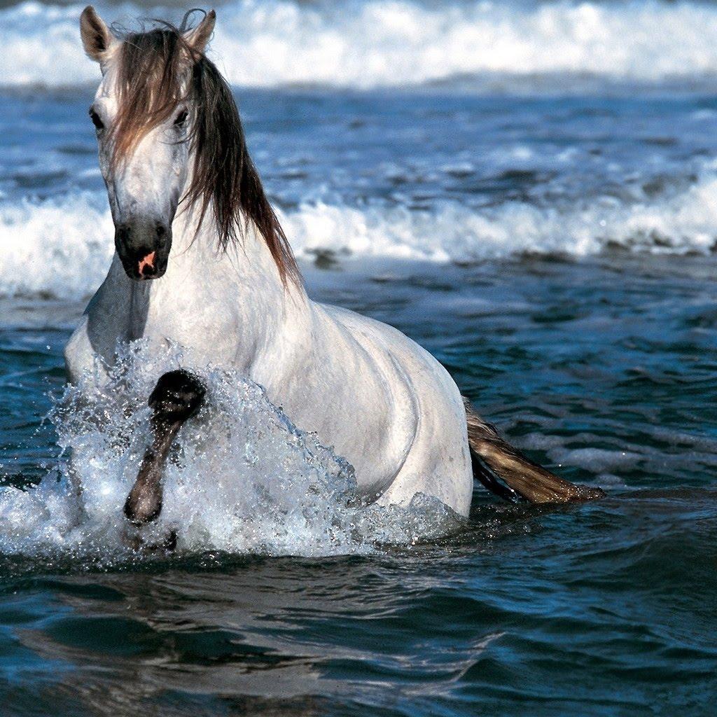 Fantastic   Wallpaper Horse Water - white-horse-running-in-water-wallpaper  Pic_452392.jpg