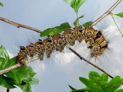Lebeda nobilis caterpillar