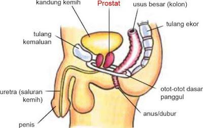 Letak prostat