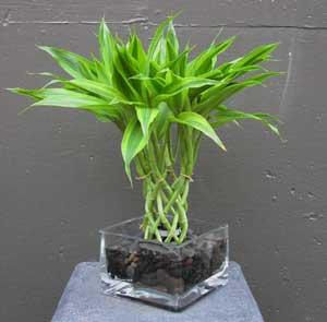 Bamboo Worktops Photos: Lucky Bamboo Arrangement