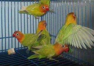Cara Ampuh Mengobati Lovebird Lumpuh atau Stroke