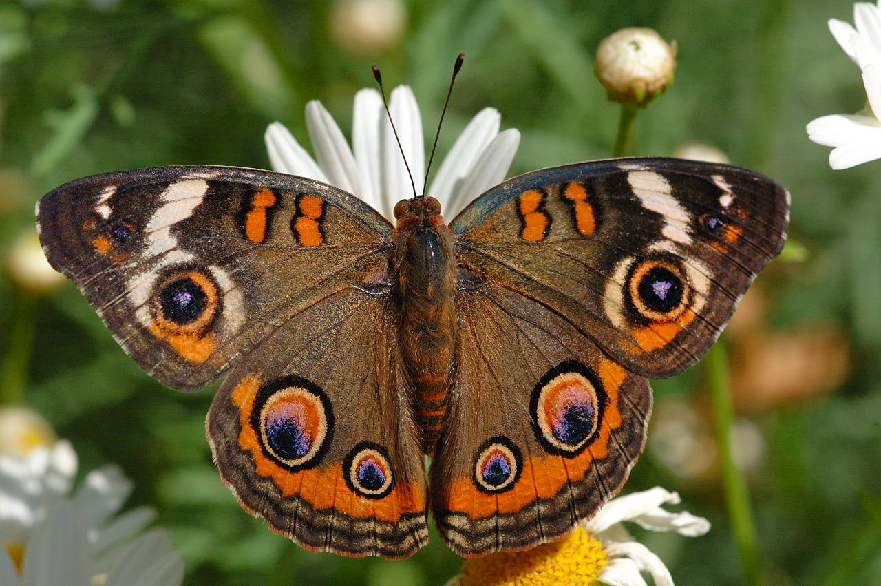 Pink Fall Wallpaper Common Buckeye Butterfly Of The Earth