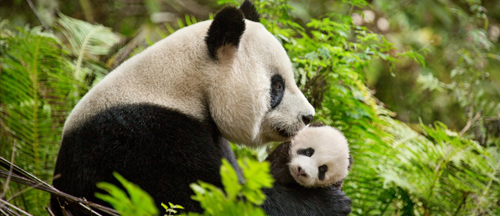 born-in-china-disneynature-trailer-clips-featurette-images-and-posters