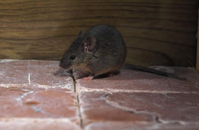 """Ηγουμενίτσα: Καταγγελία πολιτών, """"Μας έχουν φάει τα ποντίκια"""""""