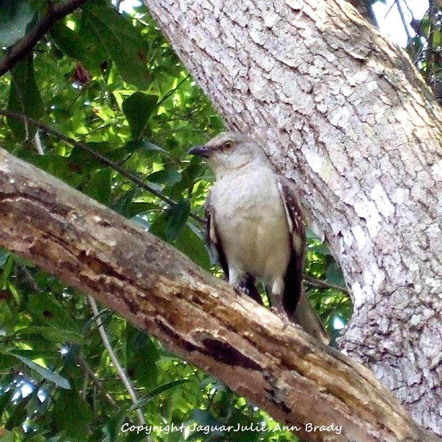 Adult Mockingbird Protective Behavior 10