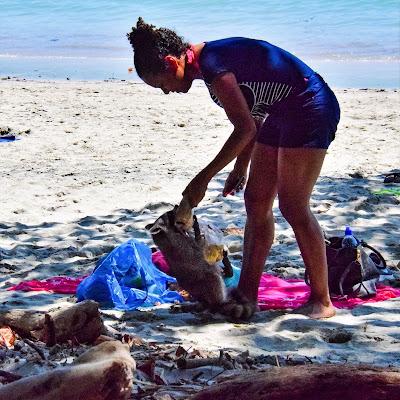 raccoon stealing food on the beach