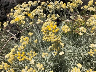 Helichyrsum italicum