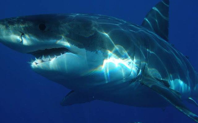 Τρομακτικός γιγαντιαίος λευκός καρχαρίας καταγράφηκε στη Χαβάη (βίντεο)