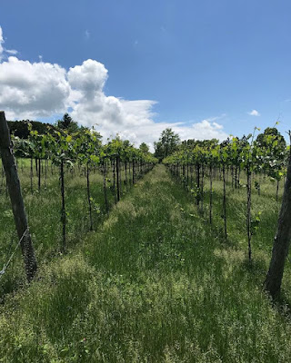 Shelburne Vineyard Iapetus